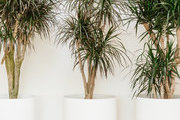 A detail of plants in tall white planters.