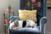 A Shih Tzu-poodle-mix dog napping on a blue-velvet armchair