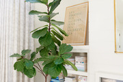 A fiddle leaf fig tree in a woven basket.