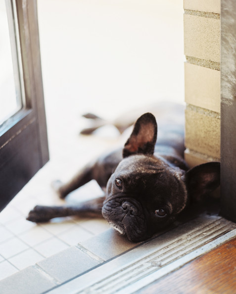 French - Alaia, a French bulldog