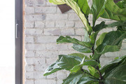 Painted brick behind a large Fiddle Leaf Fig.