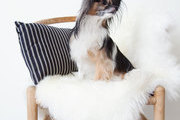 Dash's 9-year-old Papillion Lulu Dash-Mapes sits on a Hans Wegner Wishbone chair topped with an Ugg Home shearling and Loom Decor striped pillow