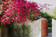 Bougainvillea growing over a stone wall in Malibu, California