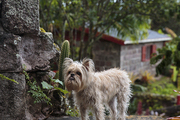 A Brussels griffon on the grounds of Golden Rock Inn