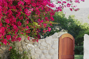 Bright pink bougainvillea tree grows over a stone wall in Malibu, California