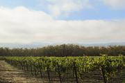 Rows of vines in the Napa Valley