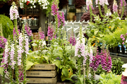 A grouping of potted foxgloves