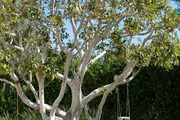 Rope swings hanging from a ficus tree in a landscaped garden