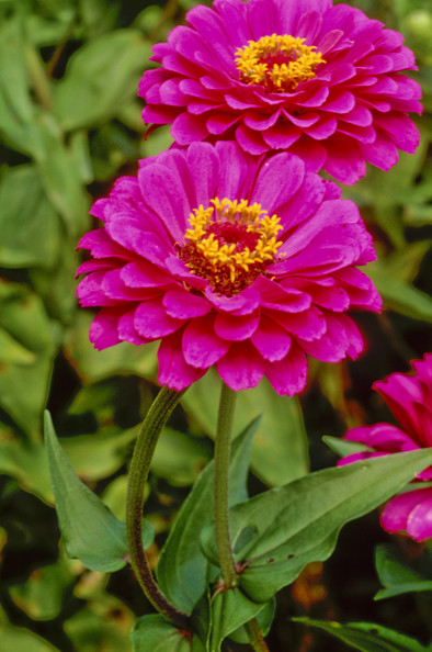 Zinnia Elegans Blue Point Purple Prince Photos Design