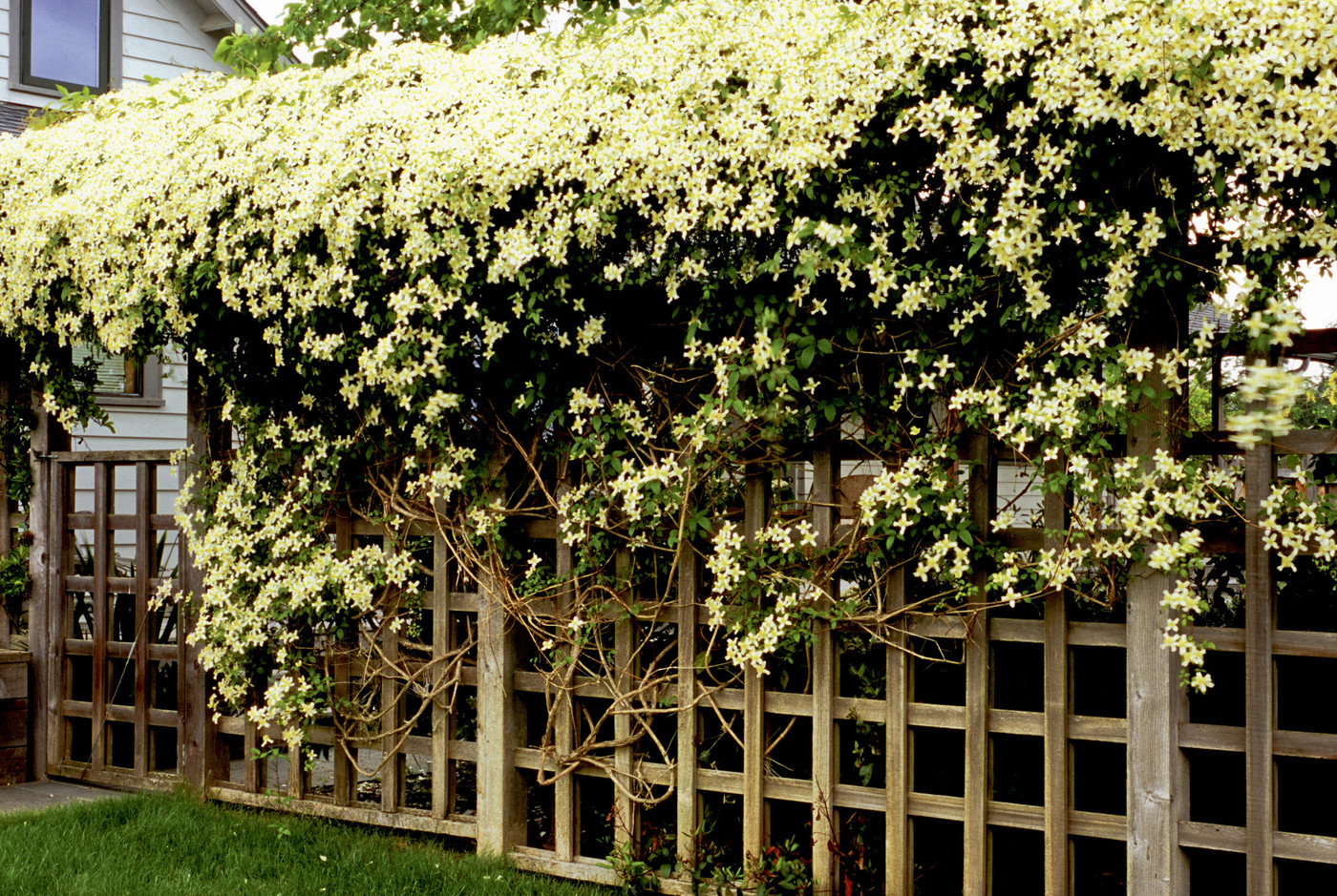 Clematis Montana Alba Photos Design Ideas Remodel And