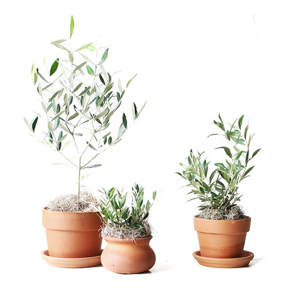 Mercantile & Co Olive Tree