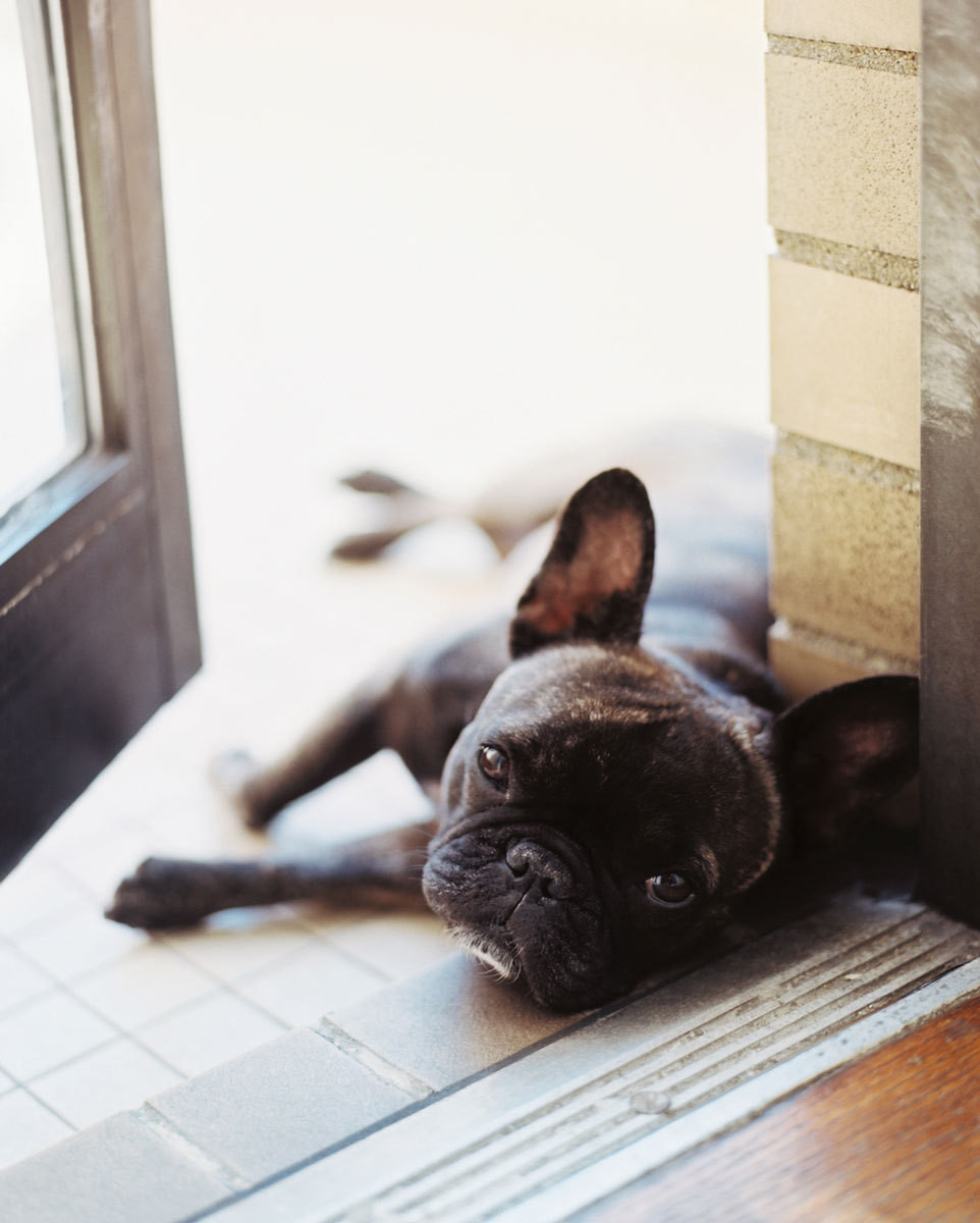 Alaia, the family's French bulldog, poses for the camera.